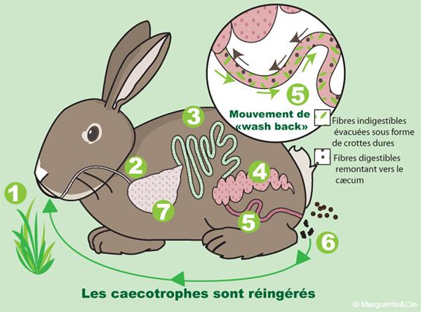 Cæcotrophie, merci à Marguerite & Cie