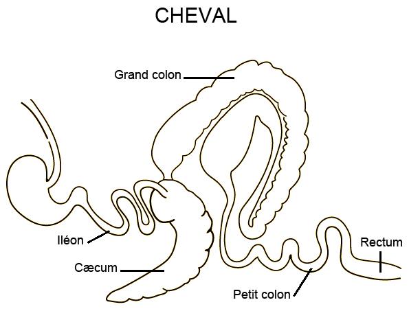 Cæcum de cheval